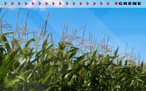Grene tapeta kukurydza