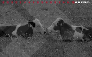 Grene tapeta - krowy