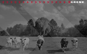 Grene tapeta krowy 2